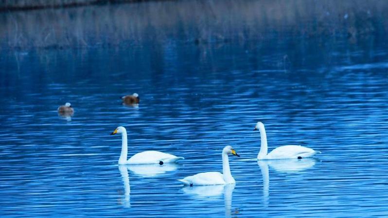 青海黄河岸边吸引大批天鹅越冬