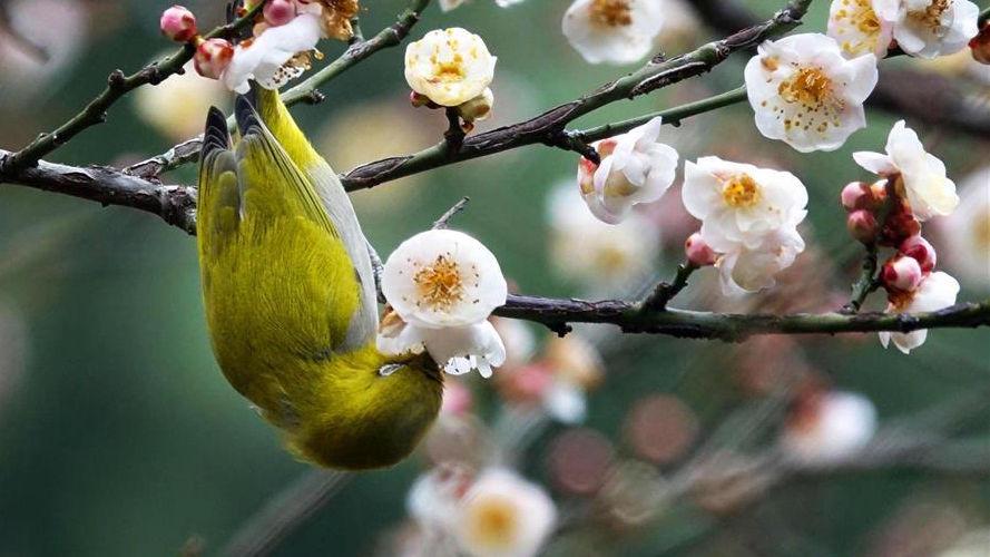 梅花开 引鸟来
