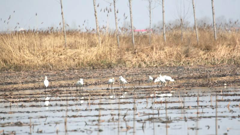 很美!白洋淀又见国家二级保护鸟类白琵鹭