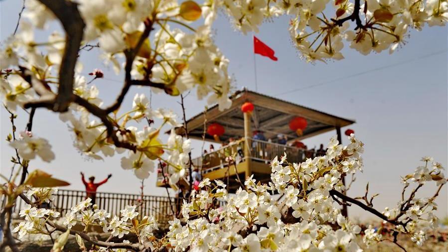 梨花竞放满园春