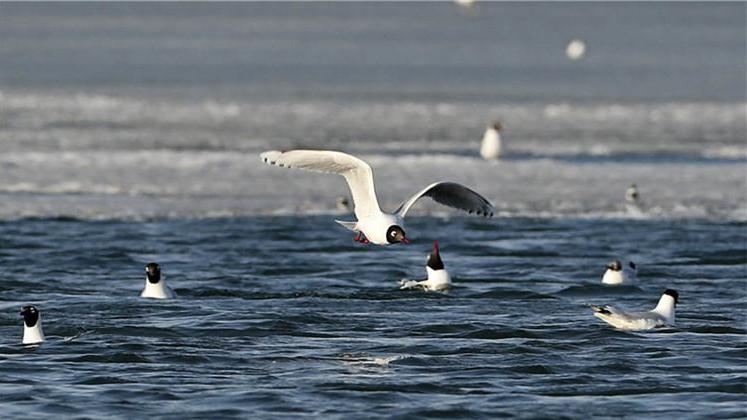 成群候鸟翔集沽源闪电河湿地