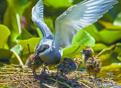 白洋淀鸟类种类增加到203种