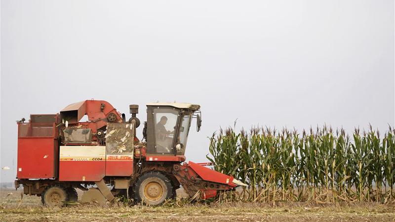 雄安新区:玉米丰收