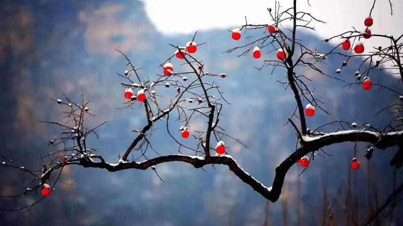 每日一诗丨七律 · 霜林雪柿