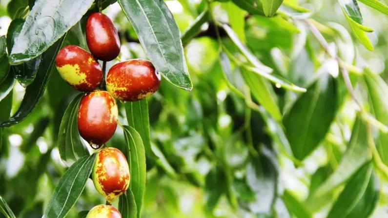 每日一诗丨雄安,家乡有棵红枣树