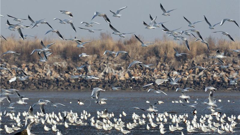 河北唐山:万鸟起舞渤海边