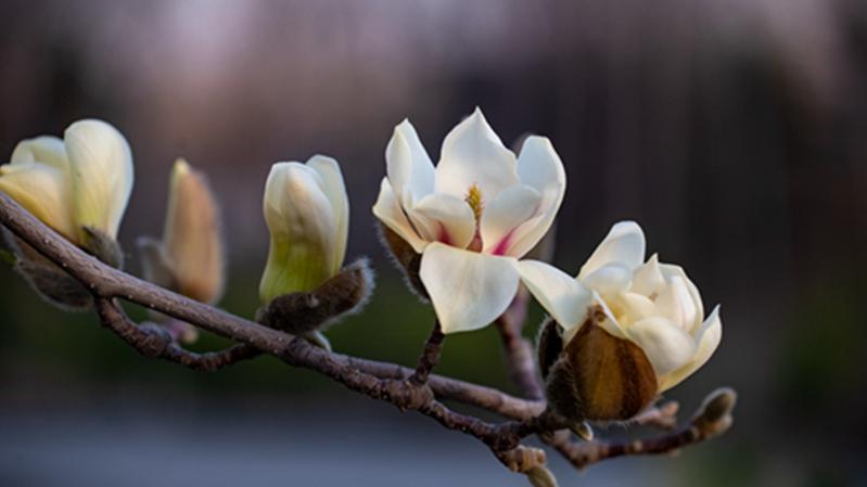 雄安新区:春意满枝头