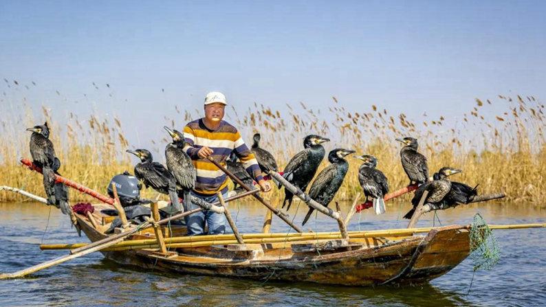 Record Xiongan | They are Baiyangdian cormorant fishermen!