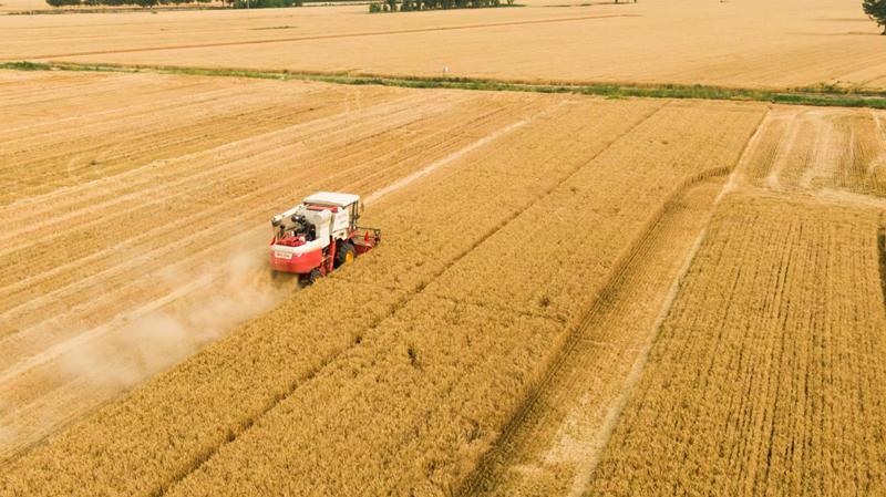 遍野金黄!雄安新区三县小麦收割基本完成