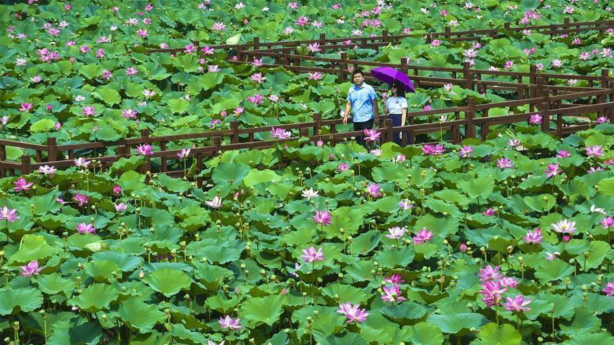 河北香河:荷花盛开乐游人
