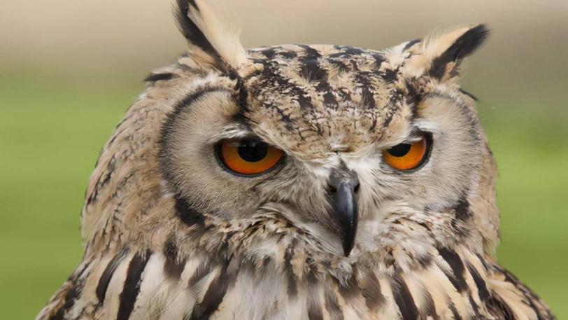 雄安新区白洋淀首次发现国家二级保护动物雕鸮