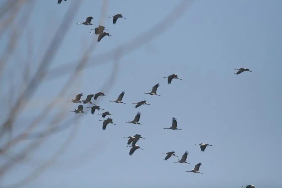 白鹤天鹅回迁白洋淀,十多万只水鸟安全越冬!