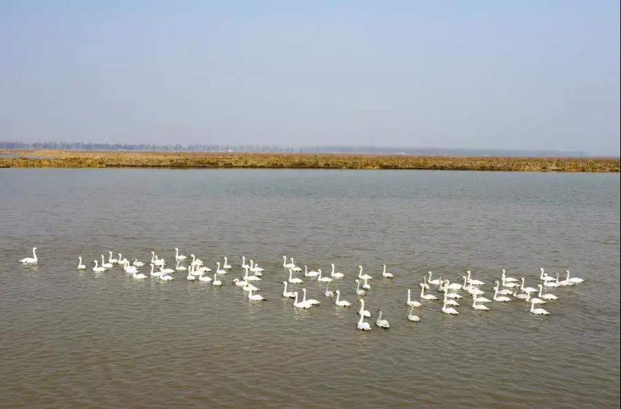 画面极度舒适!快看,白洋淀迎来2021年春季首批回迁候鸟