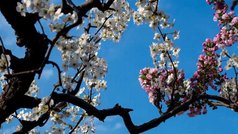 雄州梨湾梨花游园会将于4月5日开幕
