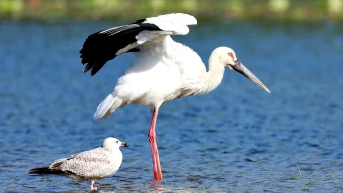 【视频】白洋淀鸟类种类增加到203种