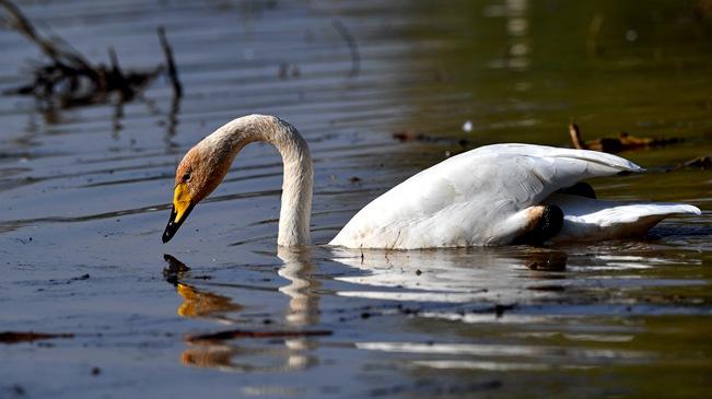 """山西黄河湿地""""迎来""""首批越冬野生大天鹅"""