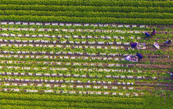河北大城:特色种植助力农民增收